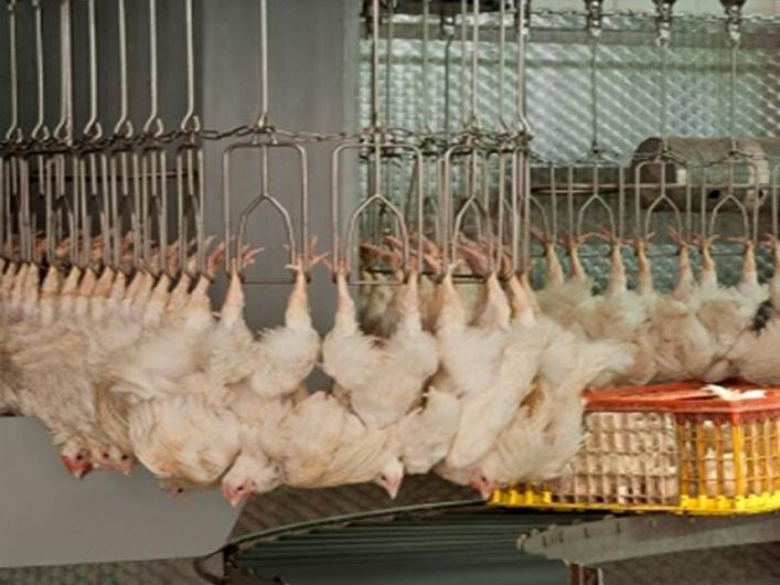 Linco Slaughter Line 4000 bph